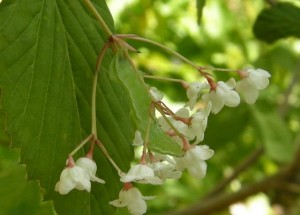 オトコヨウゾメの花とイモムシ