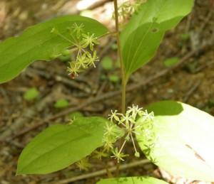 タチシオデの花