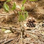 ゴンテツの幼木