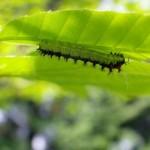 クヌギの葉のイモムシ