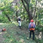 伐採したカスミザクラとクルミの木