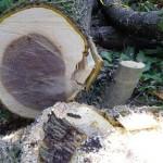 クルミの木口