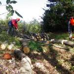 伐採した木の玉切り